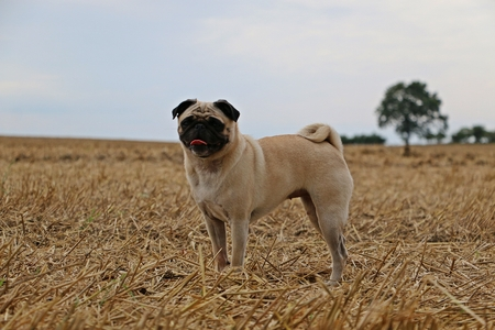 standing pug on a stubble field