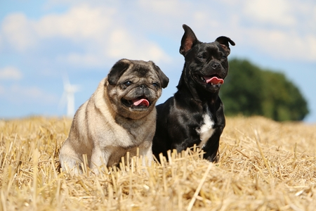 two little dogs sitting on a stubble field Stock Photo