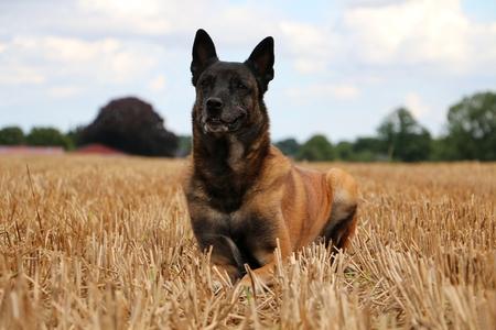 Belgian sheperd is lying in a stubble field Stock Photo