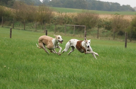 two galgoys running in the park