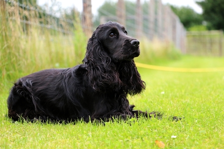 black cocker spaniel is lying in the park