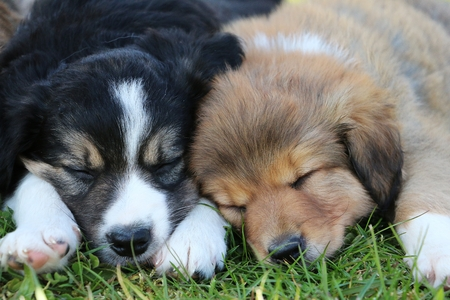 border collie puppies are sleeping in the garden