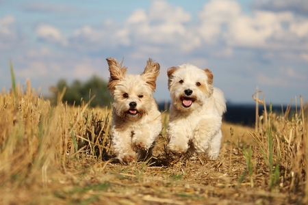 Two small dogs are running in a stubble field