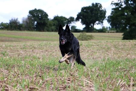 black shepherd is running on a stubble field