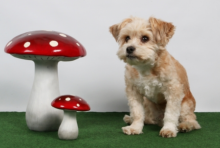 small brown dog is sitting in the studio with decoration Stock Photo