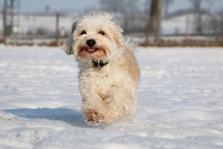 small havanese is running in the snowy garden