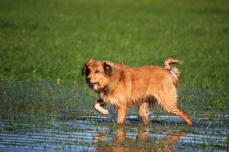 brown collie is walking in the water Banco de Imagens