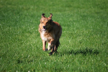 brown collie is running in the park