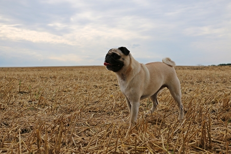 little pug is standing on a stubble field Stock Photo