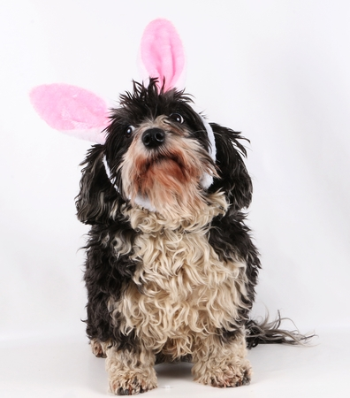 havanese is sitting in the studio with funny bunny ears Stock Photo