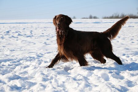 brown flat coated retriever hav fun in the snow