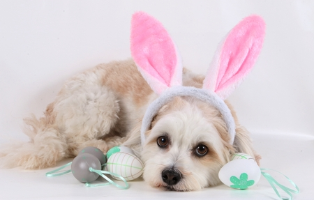small havanese is lying in the studio with easter eggs and bunny ears