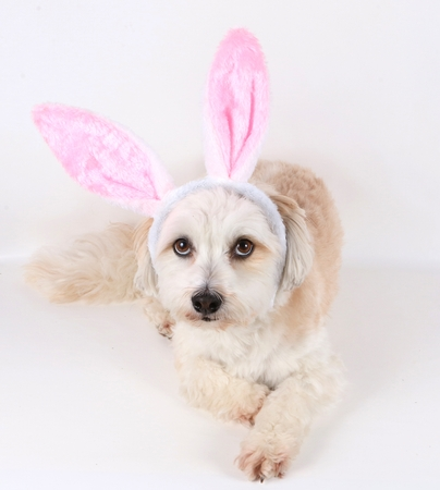 havanese is lying in the studio with funny bunny ears