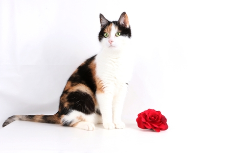 beautiful cat is sitting in the studio with a red rose