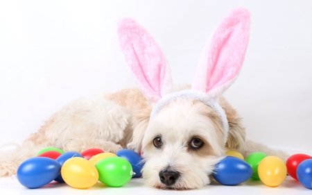havanese is lying in the studio with easter eggs and funny bunny ears