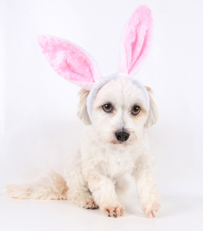 havanese is sitting in the studio with funny bunny ears