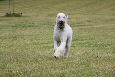 Irish wolfhound is running in the garden Stock Photo