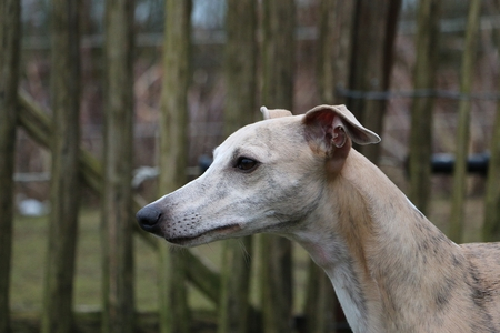 beautiful whippet dog  portrait in the garden