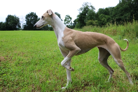 brown galgo is standing on a field