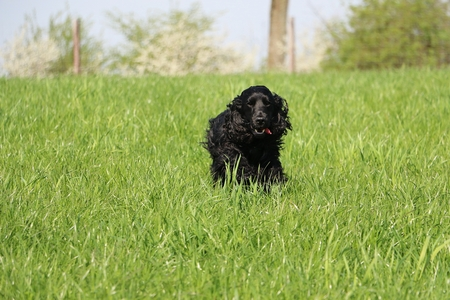black cocker spaniel is running in the garden