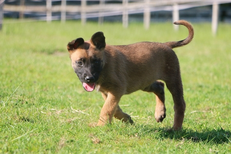 Small Malinois puppy is walking in the garden
