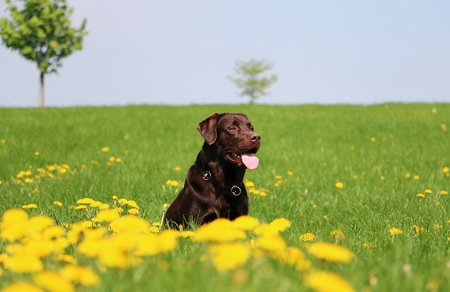 brown labrador is sitting on a field with dandelions