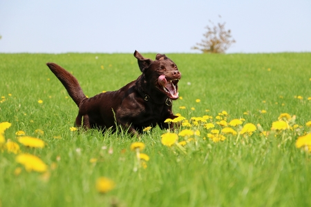 Brown Labrador is running on a field with dandelions