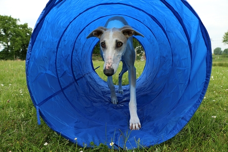 beautiful galgo is running in the agility tunnel
