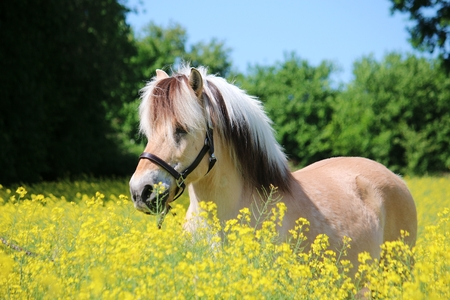 beautiful fjord horse is standing in a rape seed field in the sunshine 版權商用圖片