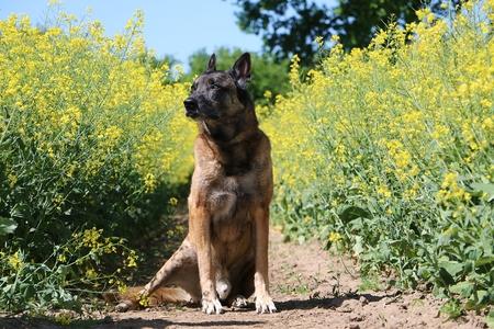 Beautiful Belgian shepherd is sitting in a rape seed field in the sunshine Stock Photo