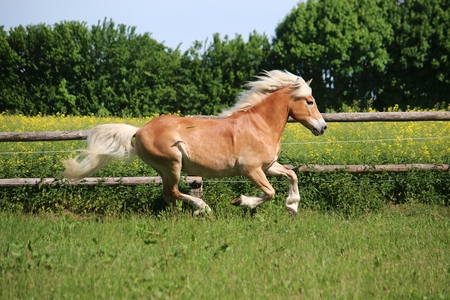 beautiful haflinger horse is running on a paddock in the sunshine