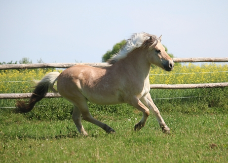 beautiful fjord horse is running on a paddock in the sunshine