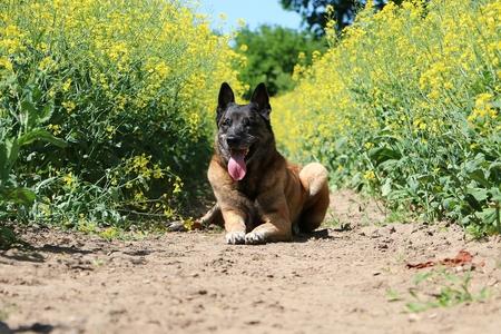 Beautiful Belgian shepherd is lying in a rape seed field in the sunshine