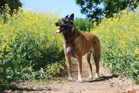 Beautiful Belgian shepherd is standing in a rape seed field in the sunshine