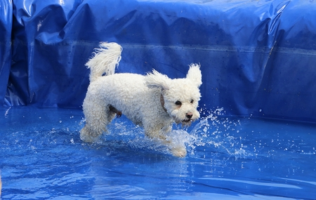 small white mixed dog have fun in the pool Stock Photo