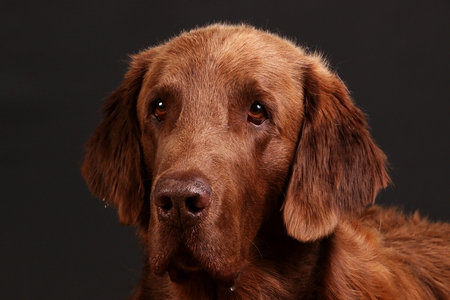 beautiful brown flat-coated retriever head portrait in the dark studio