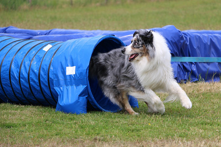 beautiful blue merle australian shepherd is running out of the tunnel in the agility parcour