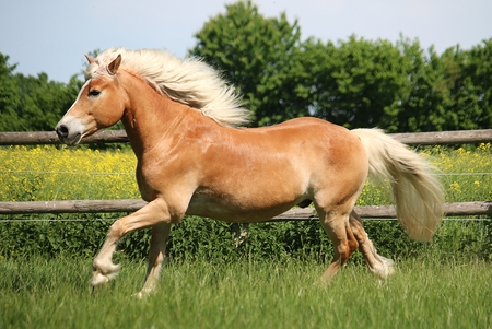 beautiful haflinger horse is running on the paddock in the sunshine