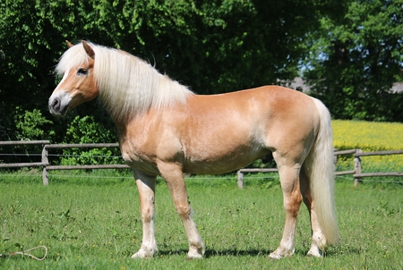 beautiful haflinger horse is standing on a paddock in the sunshine