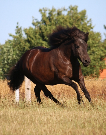 beautiful dark iceland horse is running on a paddock in the sunshine