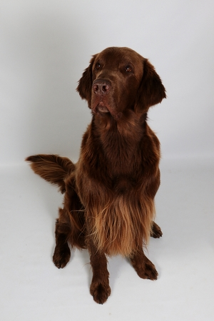 funny brown coated retriever is sitting in the white studio and looking up to the camera Stock fotó