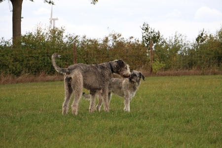 Irish wolfhound and a giant schnauzer are standing in the garden and kissing each other