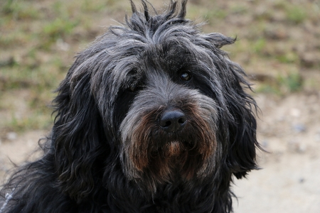 beautiful black tibet terrier head portrait in the garden