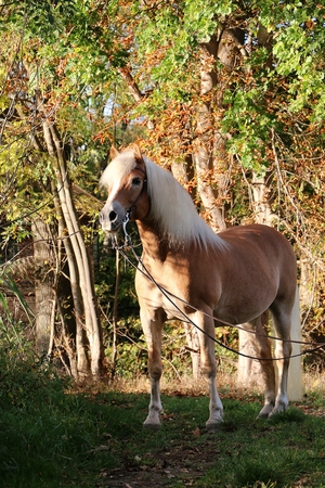 beautiful haflinger horse is standing in the autumn forest Imagens