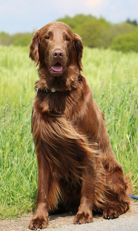 beautiful brown flat coated retriever portrait in a corn field Stock fotó