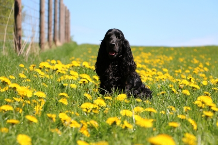 beautiful black cocker spaniel is sitting in a field of dandelions