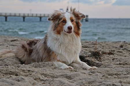Beautiful Australian shepherd is lying in the sand at the beach