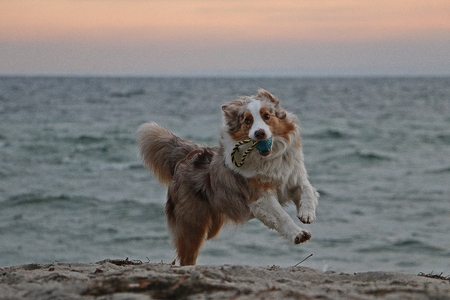 Beautiful funny Australian shepherd is playing with a toy at the beach at the beach early in the morning