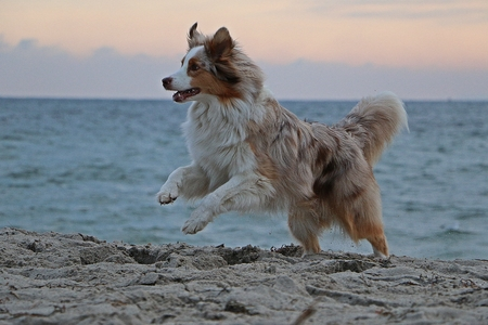 beautiful Australian shepherd is running at the beach early in the morning