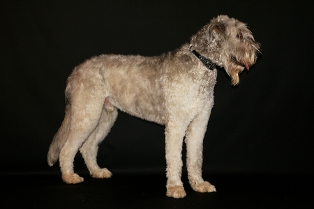 beautiful large irish wolfhound is standing in the dark studio